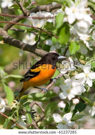 Baltimore Oriole perched amidst some spring time apple blossoms.
