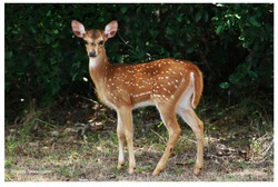 Bambi is a good name for a spotted deer