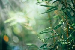 Bamboo. Bamboos Forest. Growing bamboo border design over blurred sunny background. Closeup. Japanese garden design, gardening. Zen concept. Border art. Space for your text. Nature backdrop