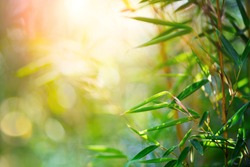 Bamboo. Bamboos Forest. Growing bamboo border design over blurred sunny background. Closeup. Japanese garden design, gardening. Spa, Zen concept. Border art. Space for your text. Nature backdrop