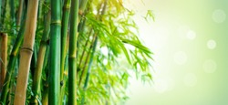 Bamboo. Bamboos Forest. Growing bamboo border design over blurred sunny background. Space for your text. Wide angle banner
