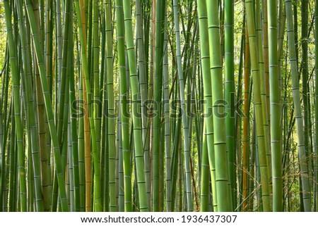 Bamboo forest background - Japan nature. Sagano Bamboo Grove of Arashiyama.