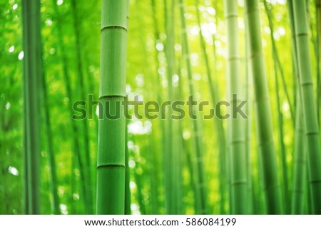 Bamboo forest in Japan. #586084199