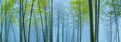 Bamboo forest in mist,Natural background