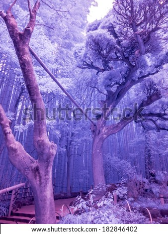 Bamboo Forest, Kamakura, Japan. Extended Infrared photo.