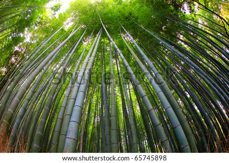 Bamboo Forest, Kyoto , Japan