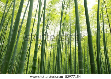Bamboo forest,natural green background.