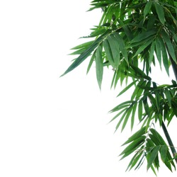 Bamboo forest plant dark green leaves on white background.
