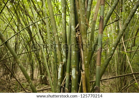bamboo forest, texture of bamboo sticks in bamboo forest