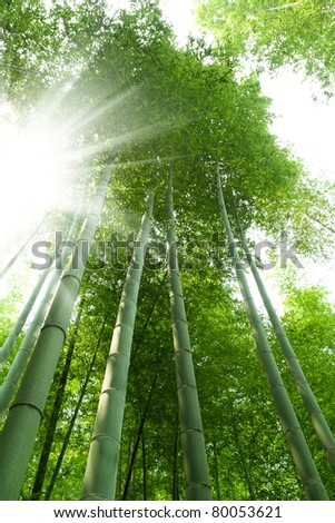 bamboo forest with bright sunlight