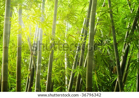 bamboo forest with ray of lights #36796342