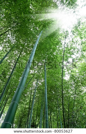 bamboo forest with sunlight,beautiful natural environment