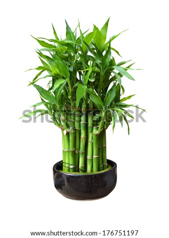 bamboo in a pot isolated on white background