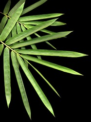 bamboo isolated on black background