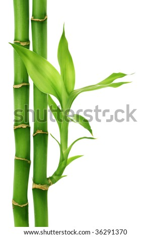 Bamboo isolated on white #36291370