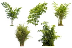 Bamboo isolated white background.The collection of Bamboos