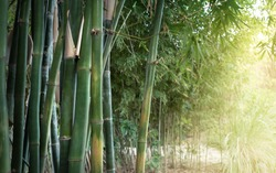 Bamboo jungle in sunlight - landscape of park or garden with of tropical climate. Green bamboo forest as nature wallpaper with place for your text on soft blur background to the right.