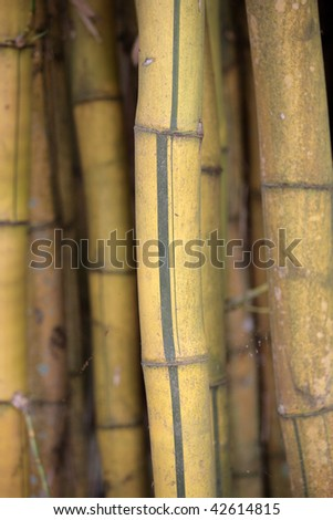 Bamboo Jungle - vibrant shades of yellow stalks in a dense grove.