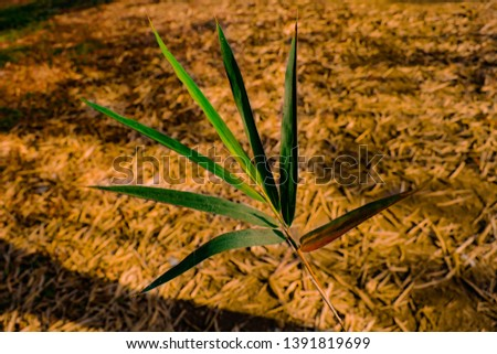 Bamboo leaf is a perennial evergreen plant with annual leaf exchange. New leaves emerge in the springtime to gently push off old foliage. This yearly foliage cycles . #1391819699