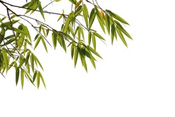 Bamboo leaves foreground isolated on white background with clipping path