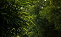 Bamboo leaves which is a beautiful background