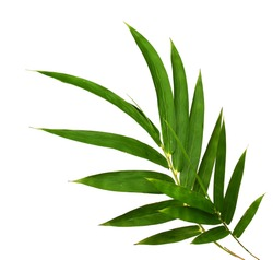 Bamboo plant green leaves isolated on white background, clipping path included.