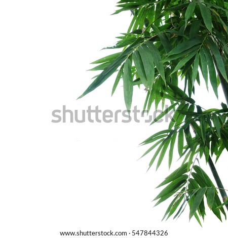 Bamboo plant green leaves on white background, selective focus. #547844326