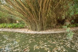 Bamboo plantation, Green bamboo garden  background