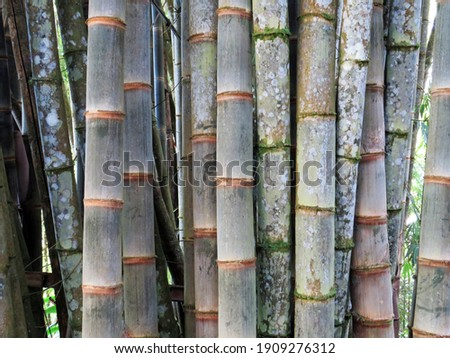 Bamboo stems in botanical garden. Close up bamboo poles in the French West Indies. Texture of bamboo trunk plants in bamboo forest. Exotic plant and tropical nature concept.