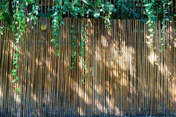 Bamboo wall, Dry bamboo fence as a background.Green ivy and sunlight on the bamboo wall.Space for text in template. Empty concept.