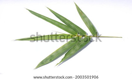 Bambusa blumeana,also known as spiny bamboo or thorny bamboo leaves isolated on white background Zdjęcia stock ©