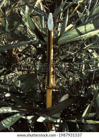 Bambusa vulgaris var. striata, Shot 10 june 2021 in village Zdjęcia stock ©