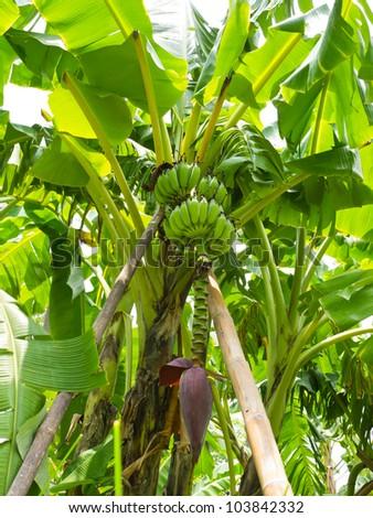 Banana and blossom tree in park