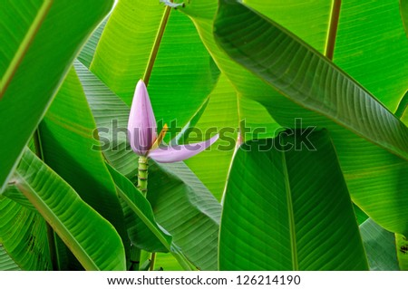 Banana flower - stock photo