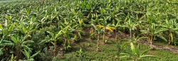 banana fruit palm tree farm organic bananas plantation agriculture green field nature background