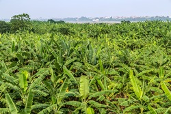 banana fruit palm tree farm organic bananas plantation agriculture green field nature background