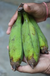 Banana fruits in farmers hand, agricultural concept