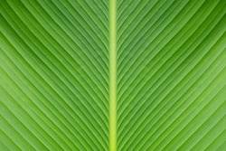 Banana green leaf closeup background use us space for text or image backdrop design.