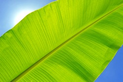 Banana leaf against blue sky