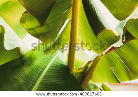 Banana leaf backlit Sun,Abstract  background of A Lot Green leaves surface