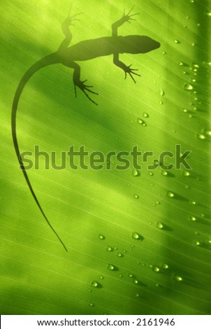 Stock Photo Banana leaf backlit with water drops and lizard shadow