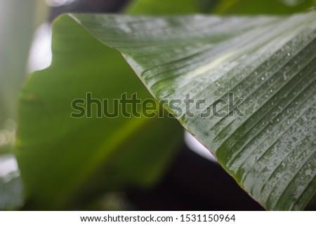 banana leaf banana leaf banana leaf