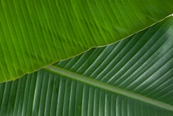 Banana leaf,fresh dark green and tender banana leaf textured background which is mostly used in south india for feast  as plates ,making snacks items like ada and for packing food ,close up.