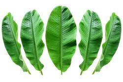 Banana leaf isolated  background