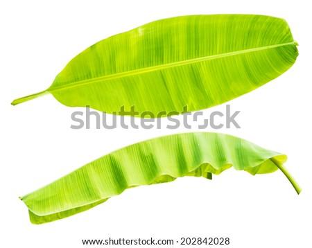 banana leaf isolated on white bg