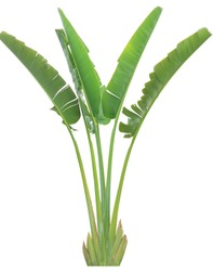banana leaf on isolate and white background