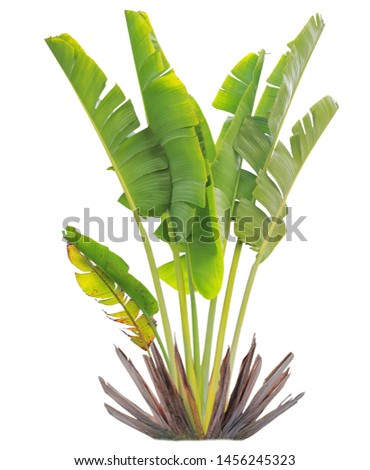 banana leaf on isolate and white background and clipping path #1456245323