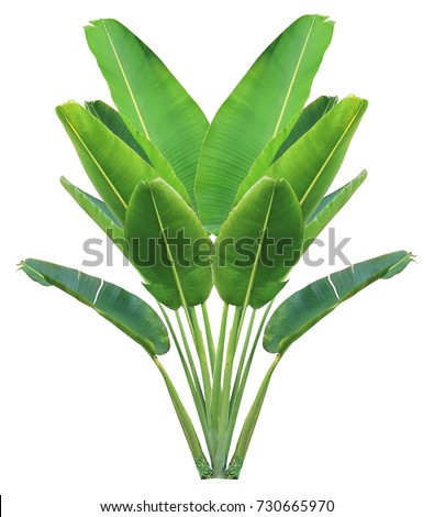banana leaf on isolate and white background and clipping path