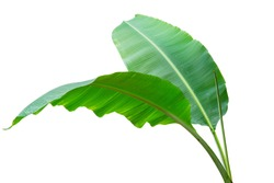 Banana leaf Wet isolated on white background. File contains a clipping path
