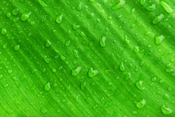 banana leaf with droplet, striped natural green background